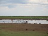 Manyara Hippos.jpg