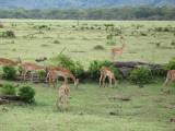 Manyara Impalas.jpg