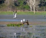 Gulls  - ie Flying Rats