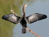 Pelicans, Cormorants & Anhinga