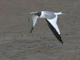 Gulls, Terns & Jaegers