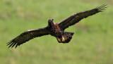 Golden Eagle!