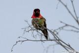 Anna's Hummingbird (Calypte anna) (4938)