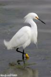 Snowy Egret (Egretta thula) (4800)