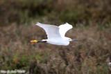 Snowy Egret (Egretta thula) (4843)