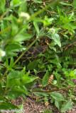 Western Diamondback Rattlesnake (4922).jpg