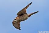 American Kestrial (Falco sparverius) (5390)
