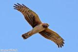 Northern Harrier (Circus cyaneus) (5440)