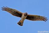 Northern Harrier (Circus cyaneus) (5465)
