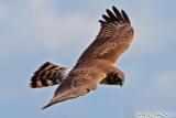 Northern Harrier (Circus cyaneus) (5495)