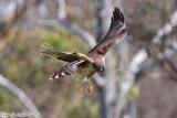 Northern Harrier (Circus cyaneus) (5509)