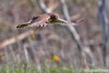 Northern Harrier (Circus cyaneus) (5511)