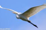 Great Egret (Ardea alba) (5568)