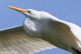 Great Egret (Ardea alba) (5571)