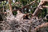 Great Horned Owl (Bubo virginianus) (5730)