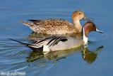 Northern Pintail Duck (Anas acuta) (5763)