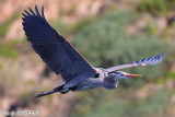 Great Blue Heron (Ardea herodias) (5808)