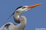 Great Blue Heron (Ardea herodias) (5848)