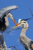 Great Blue Heron (Ardea herodias) (5858)