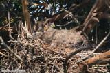 Great Horned Owl (Bubo virginianus) (5861)