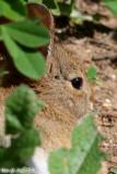 Cotton Tail Rabbit (5883)