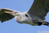 Great Blue Heron (Ardea herodias) (5902)