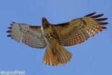 Red Tail Hawk (Buteo jamaicensis) (5939)