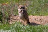 Burrowing Owl (Athene cunicularia) (5945)