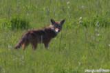 Coyote (5965)
