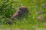 Burrowing Owl (Athene cunicularia) (6028)