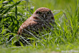 Burrowing Owl (Athene cunicularia) (6039)