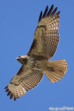 Red Tail Hawk (Buteo jamaicensis) (6060)