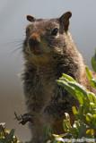 Squirrel (6086)