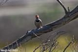 Northern Flicker (Colaptes auratus) (6096)