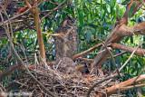 Great Horned Owl (Bubo virginianus) (6259)