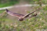 Northern Harrier (Circus cyaneus) (6265)