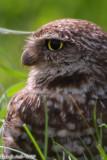 Burrowing Owl (Athene cunicularia) (6303)