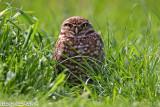 Burrowing Owl (Athene cunicularia) (6311)