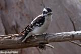 Downy Woodpecker (Picoides pubescens) (6359)