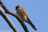 American Kestrel (Falco sparverius) (6573).jpg