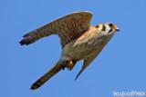 American Kestrel (Falco sparverius) (6741).jpg