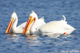 American White Pelican (Pelecanus erythrorhynchus) (6942).jpg
