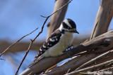Downy Woodpecker (Picoides pubescens) (6641).jpg
