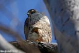 Peregrine Falcon (Falco peregrinus) (6800)