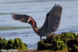 Reddish Egret (Egretta rufescens) (6782).jpg