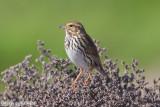 Savannah Sparrow (Passerculus sandwichensis) (6540)