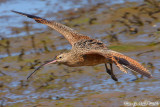 Long-Billed Curlew (Numenius americanus) (7193)