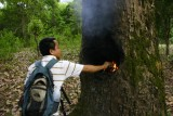 Producing lamp oil by burning the tree
