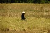 Harvesting rice, Don Khon - 4000 islands