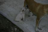 Drinking puppy